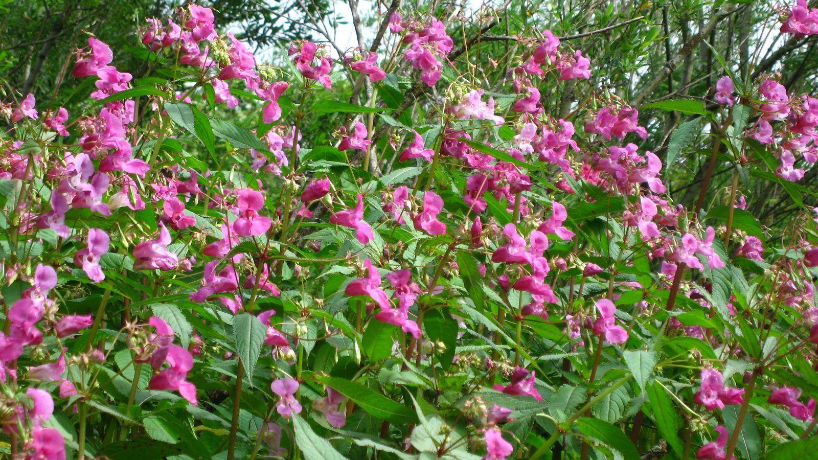 Himalayan balsam flowers